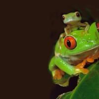 Mama tree frog & baby