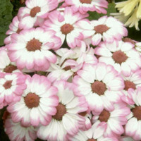 Pink & White Asters