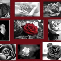 Red Rose & Black & White Roses Collage