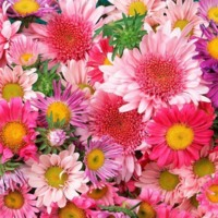 Bunches of Pink Daisies