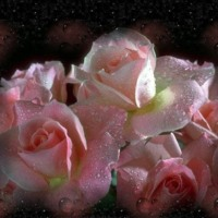 Pink Roses in Dew
