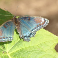 Blue Injured Butterfly
