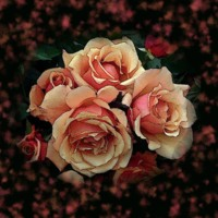 Romantic Peach Rose