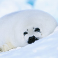 White Seal in Snow
