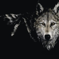 Wolf on Black