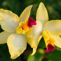 Yellow & Pink Orchids