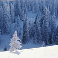 Snowy Evergreen Forest