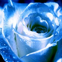 Light Blue Rose