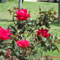 Red roses in bloom