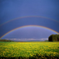 Rainbows Over Dandelion Field