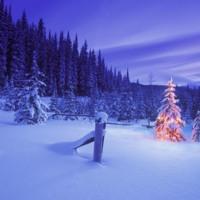 Christmas Tree in Lavender Woods