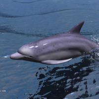 Dolphin at Play