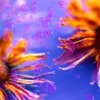 Orange Sunflowers w/ Purple Bubbles