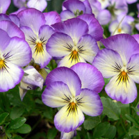 Small Purple Pansies