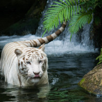 White Tiger in Waterfall