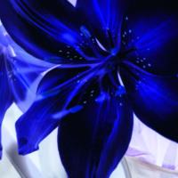 Big Blue Lilies