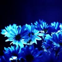 Turquoise Daisies