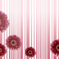 Pink Stripes & Gerber Daisies