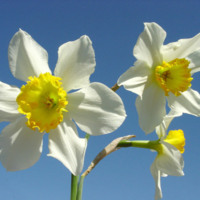 White & Yellow Daffodils