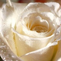 White Rose w/ Dew