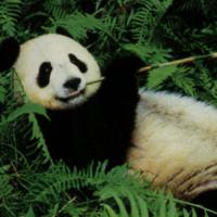 Panda in Ferns