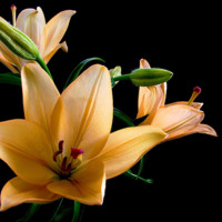 Cream Day Lilies