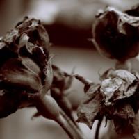 Dead Roses in Sepia