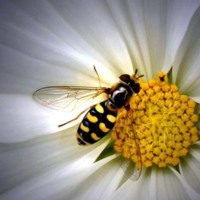 A Bee in a Daisy