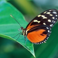 Orange & Black Butterfly