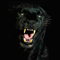 Black Panther Growling