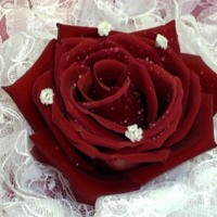 Red Rose White Lace