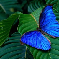 Royal Blue Butterfly on Green Leaves