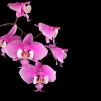 Pink Orchids on Black