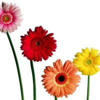 Pink, Red, Yellow & Orange Gerber Daisies
