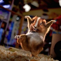 The Karate Hampster