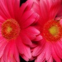Hot Pink Gerber Daisies