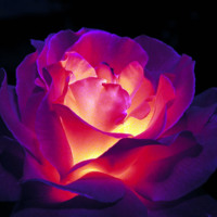 Fuschia Glowing Rose