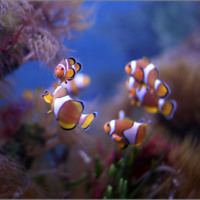 Keep Swimming Clown Fish