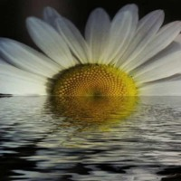 White Daisy in Water