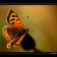 Orange Butterfly