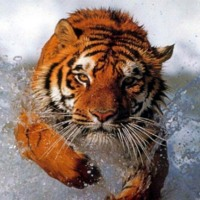 Tiger Splashing Through Water