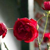 Red Rose Bush