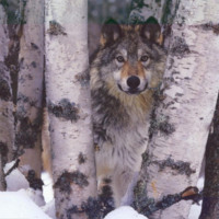 Lone Wolf in Woods