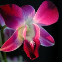 Magenta & White Orchid
