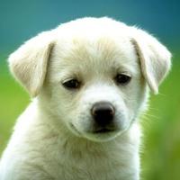 Little White Puppy Dog